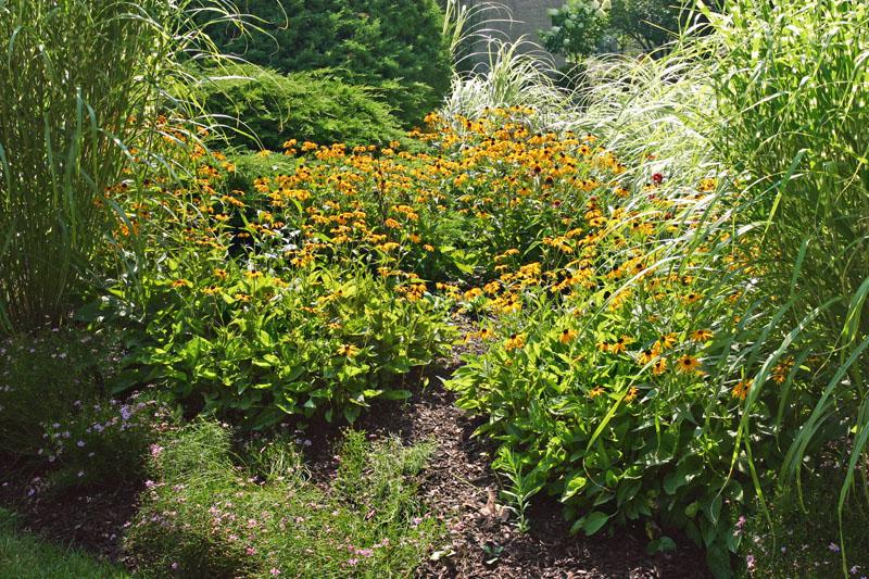 black-eye-suzy-garden