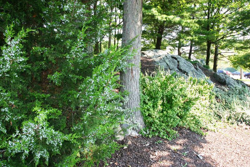 evergreen-landscaping