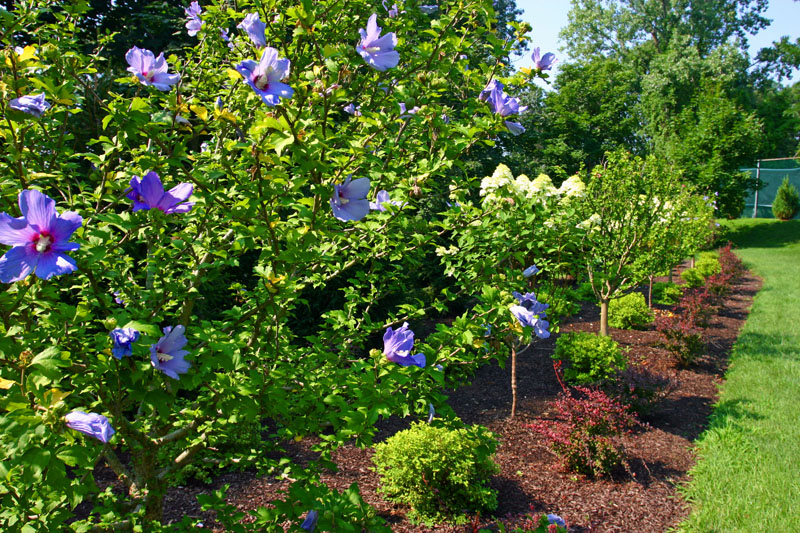 roses-of-sharon-and-hydrangea-garden-near-tennis-courts