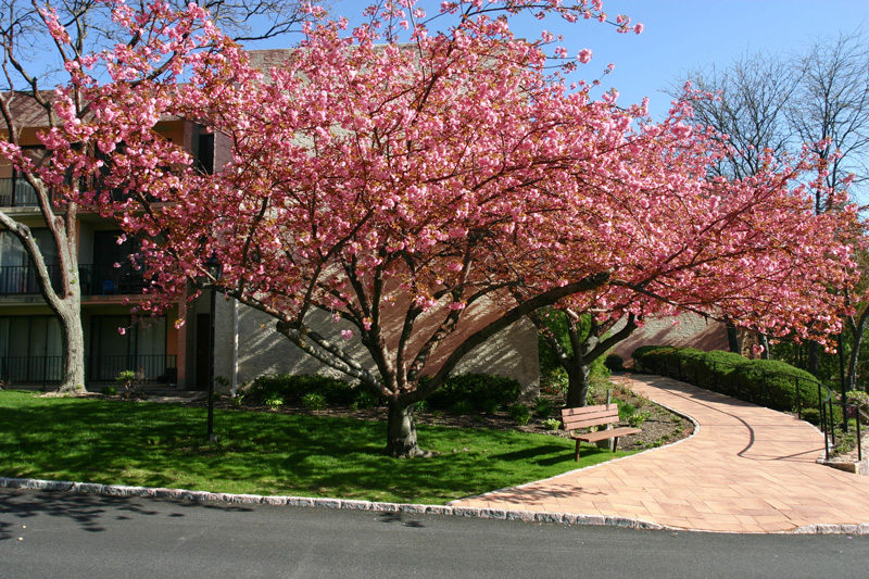 spring-cherry-blossoms-at-the-152-building